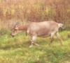 kozovod_goats userpic