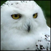 Jo Ann: Animals: Snowy Owl