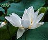 thaitali: lotus_white