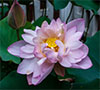 thaitali: lotus_purple