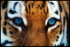 TIGR-Glaza