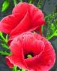 botanichka