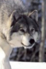 clearwolf userpic