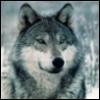 волк заспанный