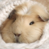 blanket_pig