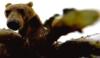 медвежий коготь