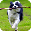 leesa_perrie: Border Collie