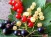 ягоды Трёхликой