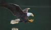 eagle_rost