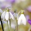Miltonway: Snowdrops