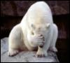 медведь страдает