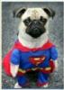 Мопс супермен