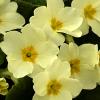 Flowers: Primroses (Spring)