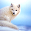 Animals ☆ Winter Family ~ arctic fox