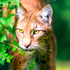 Confident: Stalking Bobcat