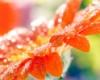 orange_gerbera