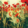 red:poppiesfield