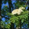 цветет рябина