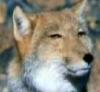 brambie_old_fox
