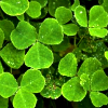 Stevia Flunt: Murphy's Shamrocks