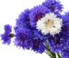 centaurea_alba userpic