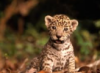 curious_reader: Jaguar cub looking clueless