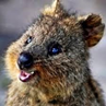quokka_happy