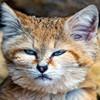 бархан-кот