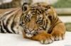 лапы вперед, Тигр