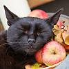 casey: autumn black cat sleeping on apples