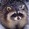 енот под снегом