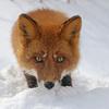 foxic3