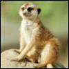 suricate_15 userpic