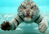 тигрис плавает