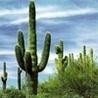 кактус зеленый