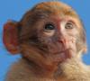 Задумчивая умная обезьяна