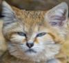 серьезный красивый кот