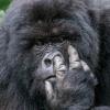 горилла ковыряет в носу