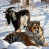 медведь, шкотово, тигр, енот, животные