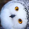 sideways owl