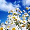 Erin Keenan: Daisies
