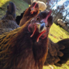 Суровая курица