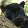 simply, размышления, panther, пантера