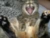 кот ржот