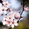 Вишня цветет весной, не раньше. (китайская пословица)