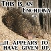 themightyflynn: echidna