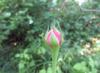 Paul Neyron rose bud