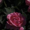 roseofporcelain userpic