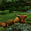 Travel: Highland Coo