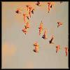 skylark flock